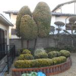 木の植え替え  シマトネリコ(奈良市)