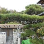 松の木せん定(奈良市)
